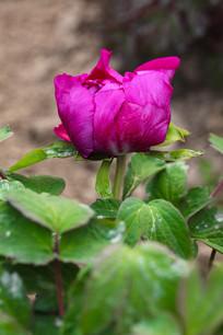 一朵粉紫色牡丹花
