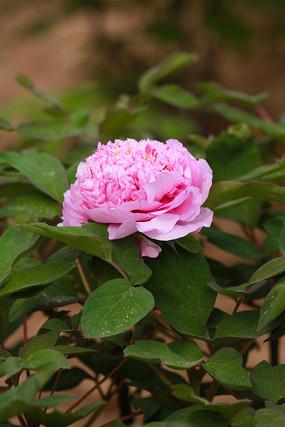 一朵盛开的浅粉色牡丹花