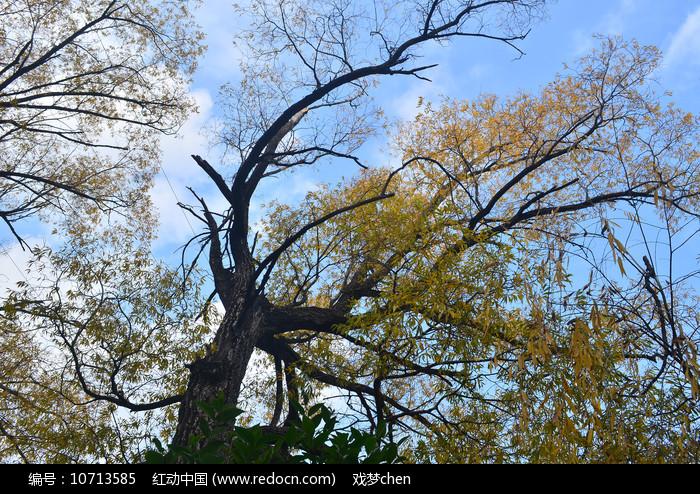 银杏树木风景图片