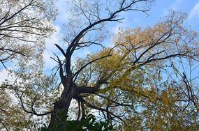 银杏树木风景