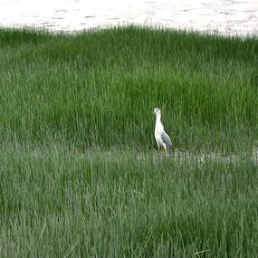 草丛中的鹭鸟