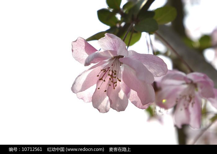 粉色的花朵图片