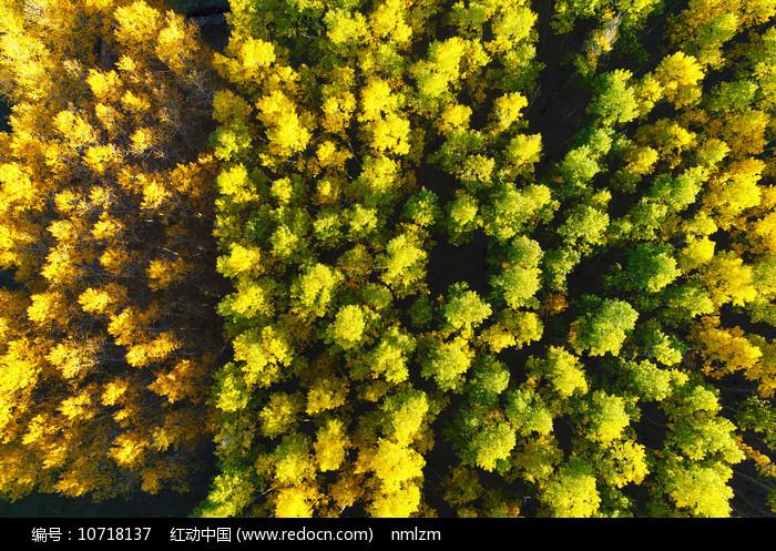 航拍金秋茂密树林图片