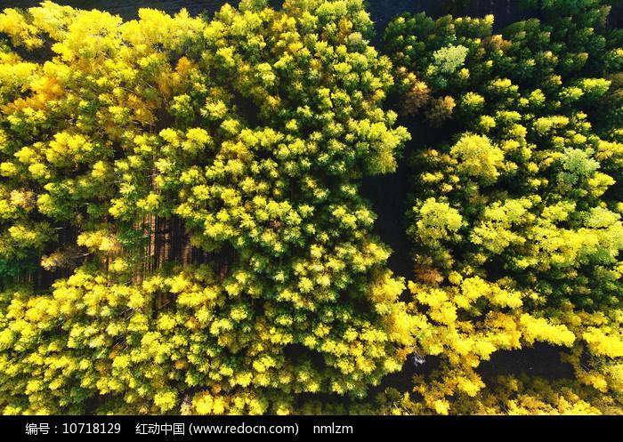 航拍金色的树林风景图片