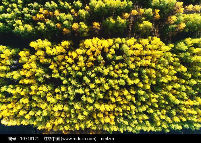 航拍金色密林秋景 图片