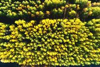 航拍金色密林秋景