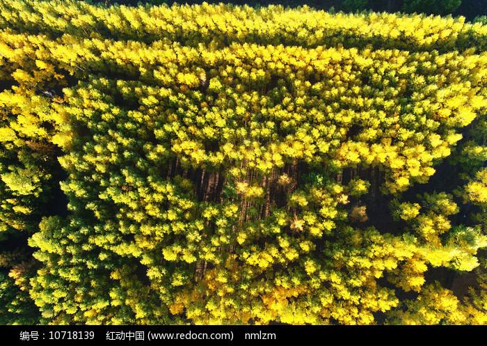 航拍秋日金色丛林图片