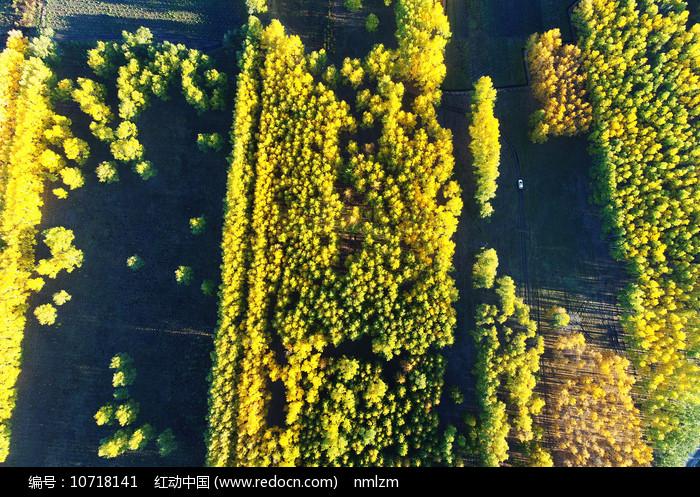 航拍秋日金色密林 图片