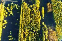 航拍秋日金色密林