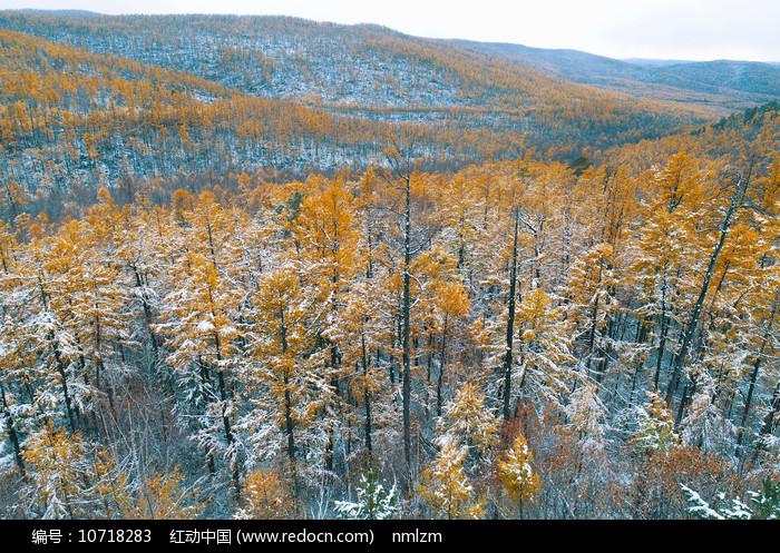 航拍秋雪后的鎏金山林 图片