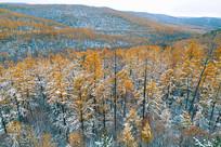 航拍秋雪后的鎏金山林