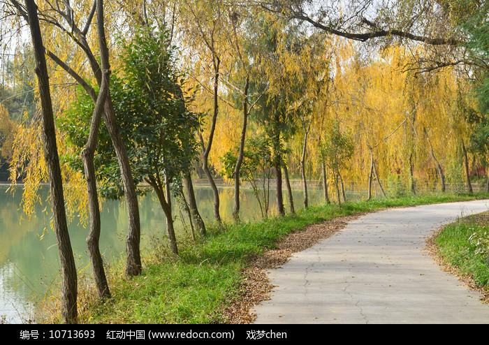 湖边的金色杨柳小路风景图片