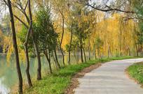 湖边的金色杨柳小路风景