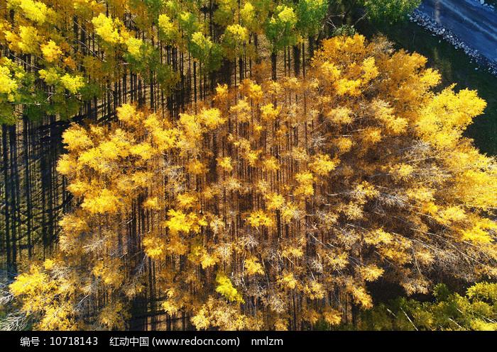 金秋密林秋景(航拍)图片