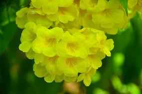 开满黄色花朵的黄钟树