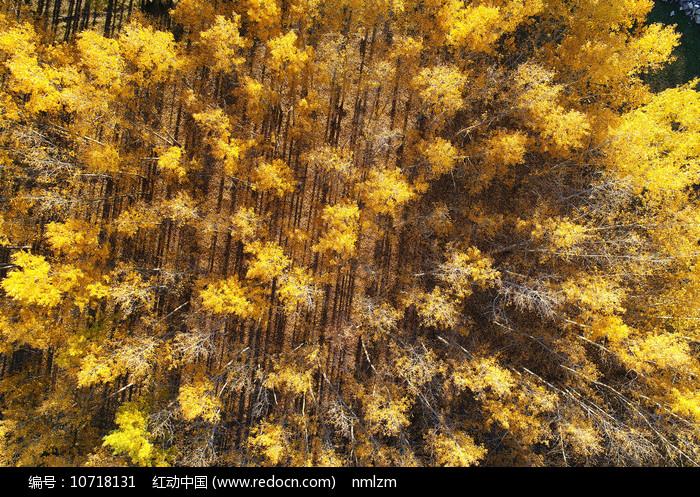 茂密的金色树林(航拍)图片