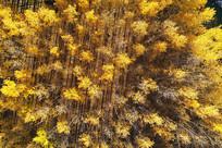 茂密的金色树林(航拍)
