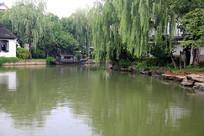 池塘上的杨柳
