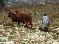 传统农业牛耕地