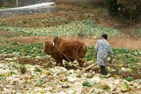 农民用牛耕地