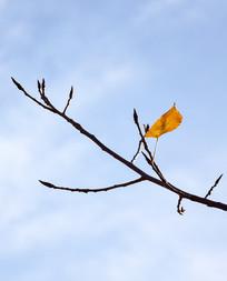 树枝上的一片黄叶