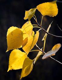 阳光照射的树叶
