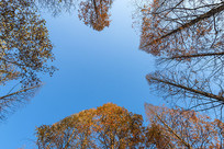 仰视杉树林