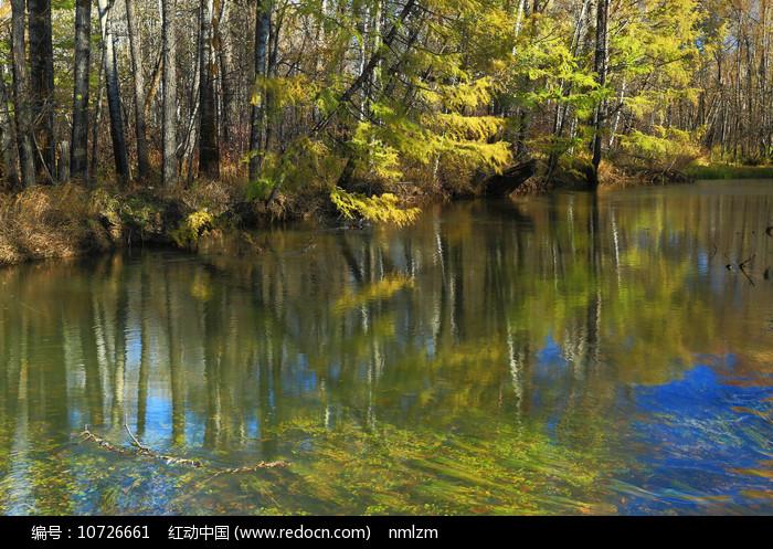 大兴安岭河岸金色的树林图片