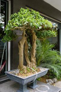 根雕榕盆景