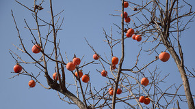 红色的柿子