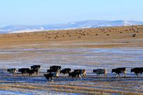 呼伦贝尔冬季牧场三河牛