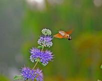 采蜜的长啄天蛾