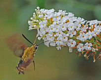 长啄天蛾采蜜