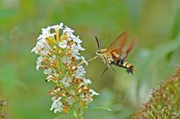 长啄天蛾和小花