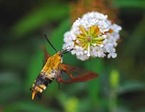 长啄天蛾和野花