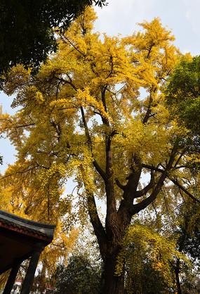 成都平安桥天主教堂冬天的银杏树