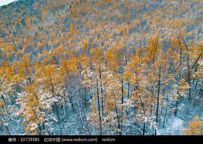 大兴安岭森林秋季彩林雪景图片