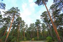 吉林长白山林区美人松树林
