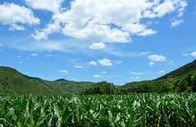 蓝天白云下的玉米苗