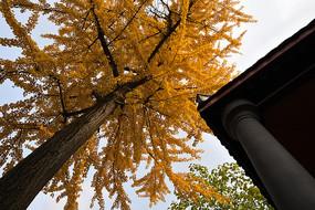 平安桥天主教堂的银杏树