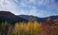 深秋的杨树林