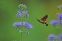 野花和长啄天蛾