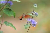 野花和飞行长啄天蛾