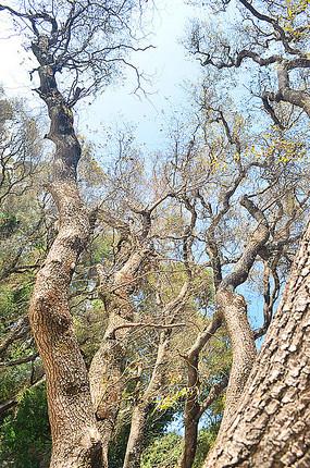 垂柳大树树干
