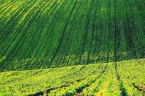 东北垦区黑土地农作物风景