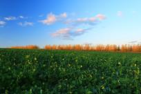 东北平原农田农作物