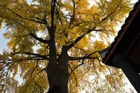 金黄的冬日银杏