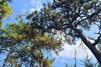 蓝天松树风景