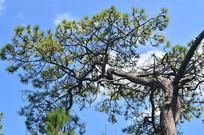蓝天松树树木