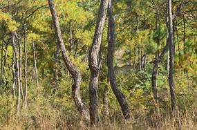 松树树林风景
